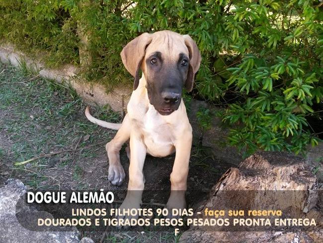 dogue-alemao23