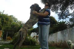 dogue-alemao2